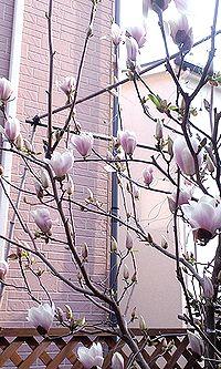 木蓮開花1
