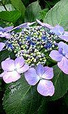 28紫陽花寺 ♪3