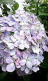 28紫陽花寺 ♪2