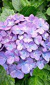 28紫陽花 ♪