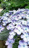 28紫陽花寺 ♪5