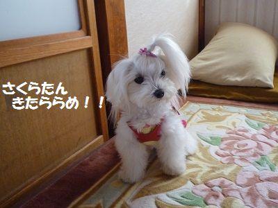 さくらちゃん5