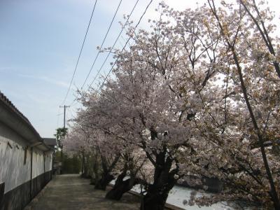 三津大川桜