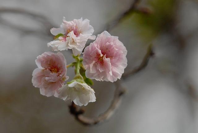 コブク桜2