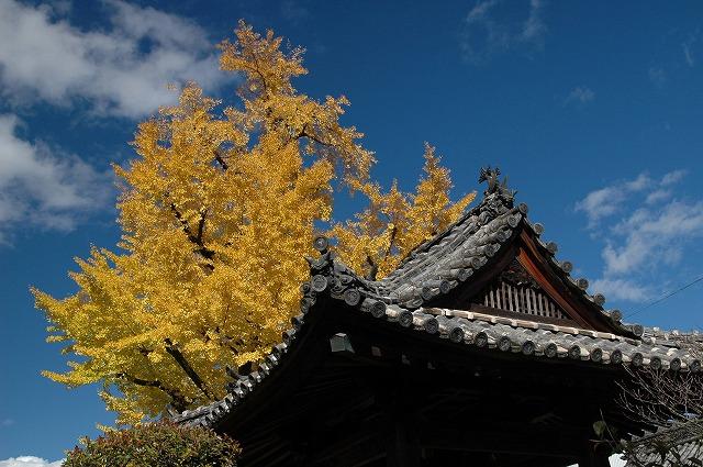 善福寺の銀杏1