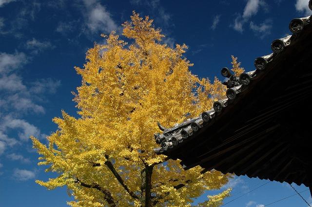善福寺の銀杏2