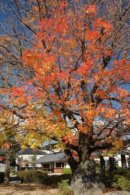 田中苑の櫂の木2