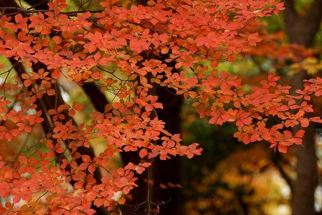 ドウダンツツジの紅葉7