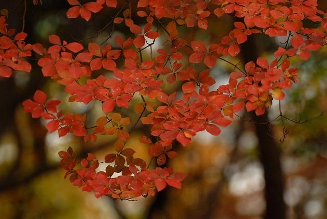 ドウダンツツジの紅葉8