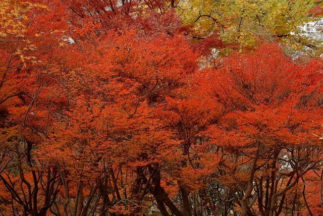 ドウダンツツジの紅葉10