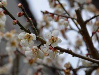02-桜(梅)咲く