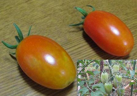 あいこトマト収穫