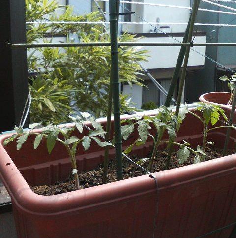 トマトー桃太郎2010-06-10