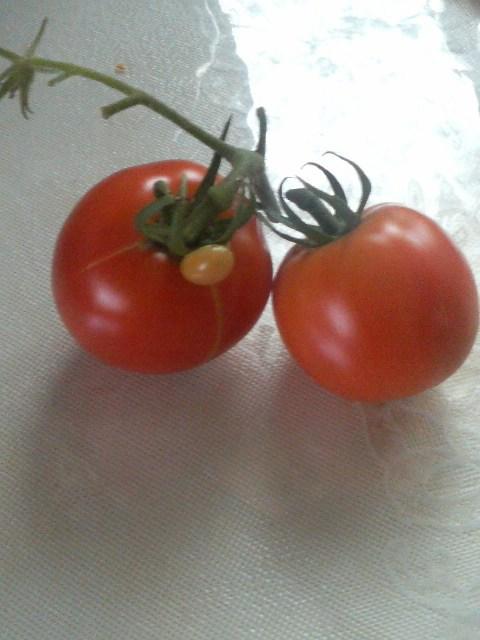 トマトー8-C