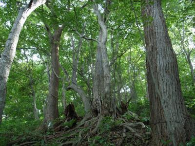 札幌原始林 12