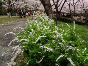 sakura10_convert_20120415171308.jpg