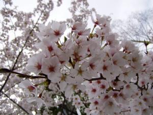 sakura2_convert_20120415170302.jpg