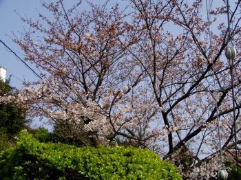 sakuranoki2_convert_20120410003047.jpg