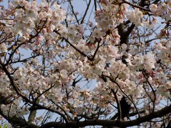 sakuranoki_convert_20120410001502.jpg
