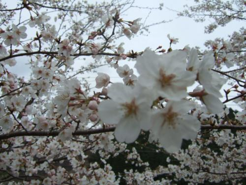 2010_03302010年3月お花見ドラ0019