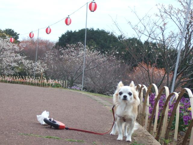 2010_03302010年3月お花見ドラ0058