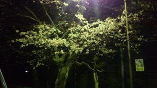 夜桜(近くの公園にて)