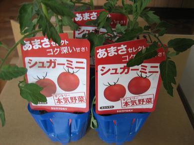 わぉ、トマトの苗だわ♪