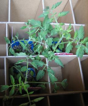 トマトの苗が三本(^_-)-☆