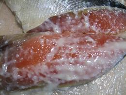 鮭もこんなに美人♪