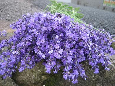 ラベンダーの花♪