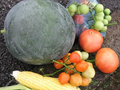 初収穫の西瓜・・・