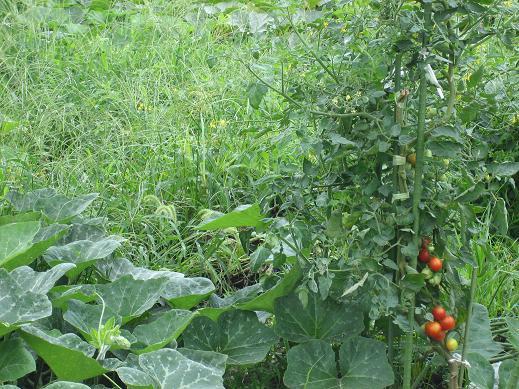 西瓜・南瓜・トマト・そして雑草だぁ!
