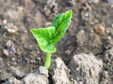 小豆、種蒔きから5日目♪
