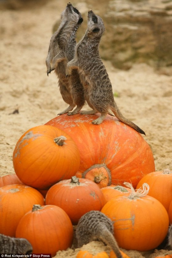 meerkats-on-pumpkin.jpg