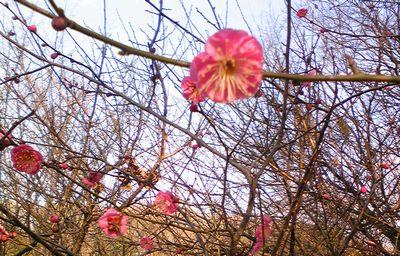 早くも梅開花