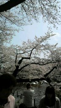 井の頭公園の桜2