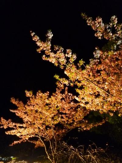 なばな夜桜1