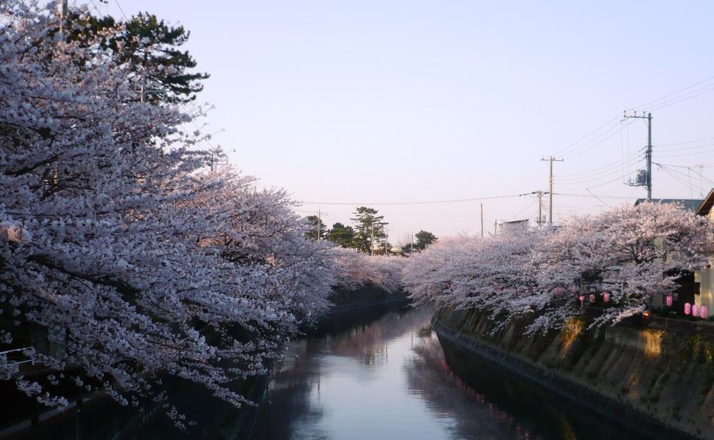 河原の桜2