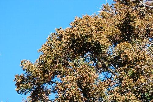 杉 花粉の