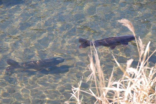 ツーショット 鯉