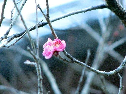 9 梅咲き初め