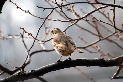 梅に大きい鳥