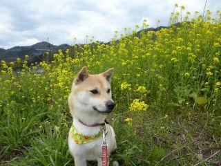 1004菜の花