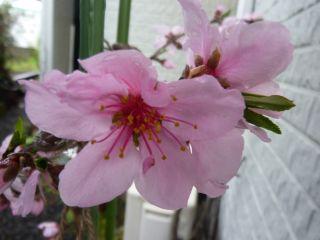 1004桃の花