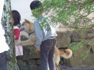 2010山陰柴犬