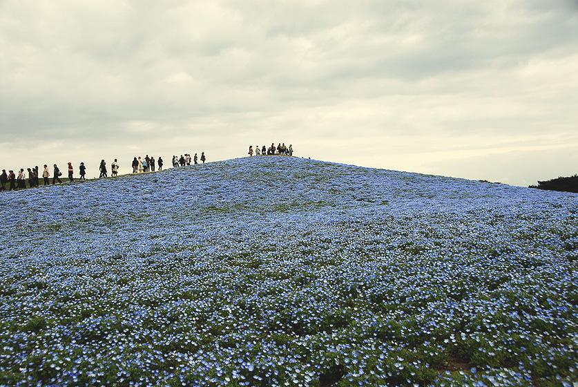 ネモフィラの丘1