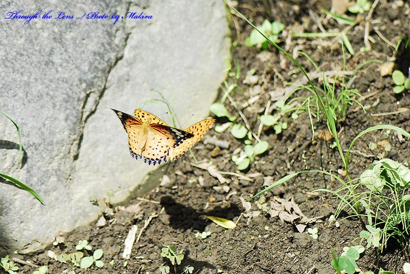 ツマグロヒョウモン♂♀1