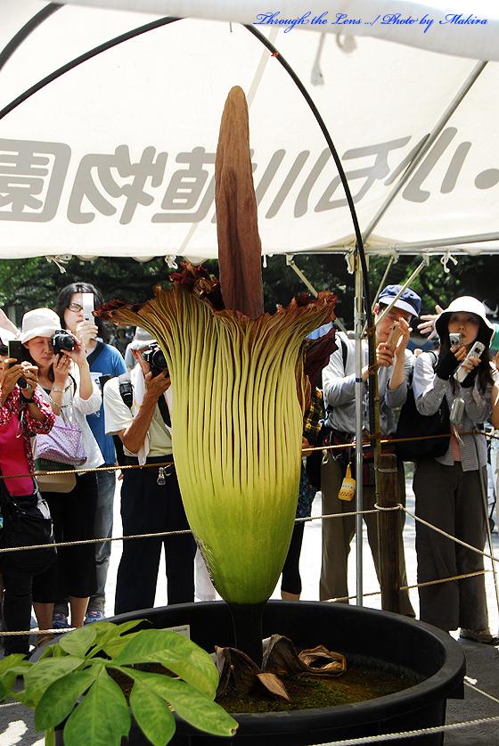 ショクダイオオコンニャクの花2