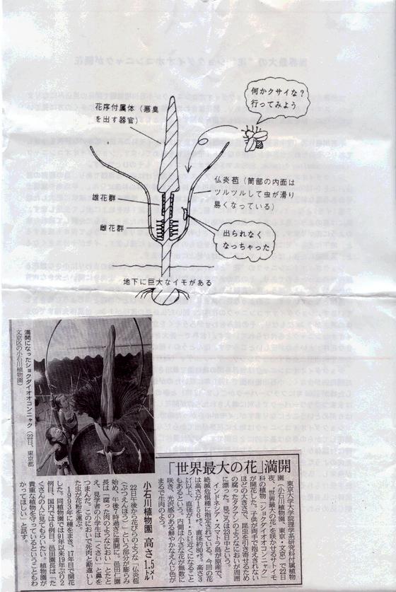 ショクダイオオコンニャクの花0008-1