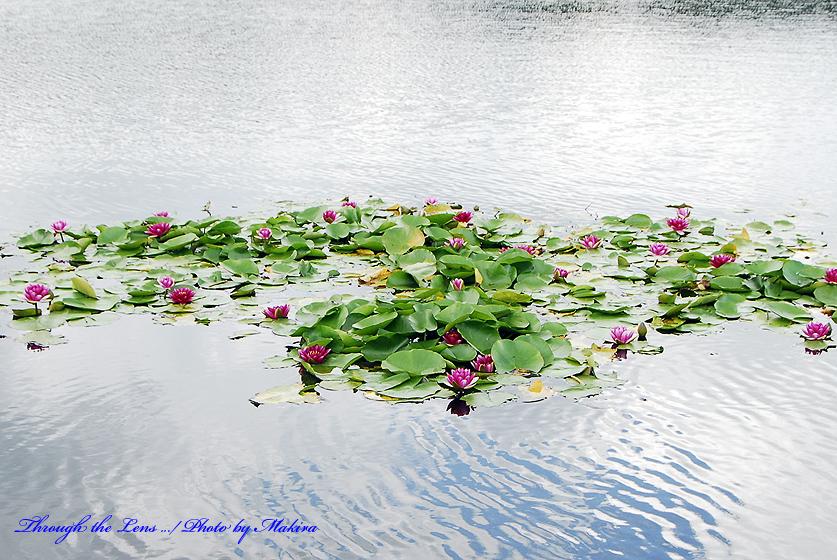 バラギ湖の睡蓮
